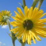 Compass Plant - Silphium laciniatum 5