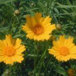 Largeflower Tickseed, Large-flower Tickseed - Coreopsis grandiflora 4