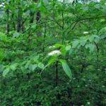 Pagoda Dogwood - Cornus alternifolia 3