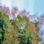 American Smoketree, Chittamwood - Cotinus obovatus ( C. americanus) 3