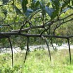 Cockspur Hawthorn - Crataegus crus-galli