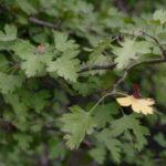 Parsley Hawthorn - Crataegus marshallii
