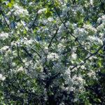 Downy Hawthorn - Crataegus mollis