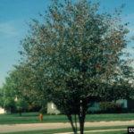 Washington Hawthorn - Crataegus phaenopyrum 4