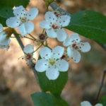 Green Hawthorn - Crataegus viridis