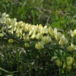 Cream Wild Indigo, Longbract Wild Indigo - Baptisia bracteata
