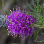 Purple Tassels, Purpletassels, Gattinger Prairie Clover - Dalea gattingeri 2