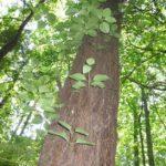 Climbing Hydrangea, Wild Hydrangeavine, Wood Vamp - Decumaria barbara