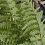 Hay-scented Fern - Dennstaedtia punctilobula 3