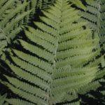Silvery Spleenwort, Silvery Glade Fern - Deparia acrostichoides (Athyrium thelypterioides)