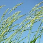 American Beakgrain, Beak Grass - Diarrhena americana 2