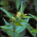 Southern Bush Honeysuckle - Diervilla sessilifolia
