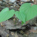 Wild Yam, Colic Root - Dioscorea villosa