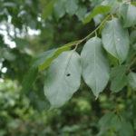 Common Persimmon, Possumwood, Eastern Persimmon - Diospyros virginiana 2