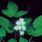 Doll's Eyes, White Baneberry - Actaea pachypoda 1