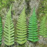 Log Fern - Dryopteris celsa (D. goldiana subsp. celsa)