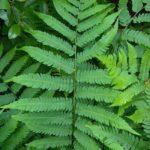 Goldie's Woodfern, Giant Woodfern, Goldie's Shield Fern - Dryopteris goldiana