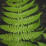 Marginal Woodfern, Marginal Shield-fern - Dryopteris marginalis 4