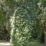Dutchman's Pipe - Aristolochia macrophylla (Aristolochia durior) 3