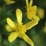 Early Buttercup - Ranunculus fascicularis 3
