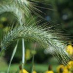 Canada Wild Rye, Prairie Wild Rye, Nodding Wild Rye - Elymus canadensis