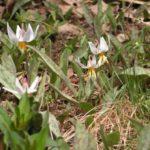 White Trout Lily, White Fawn Lily - Erythronium albidum 4