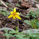 Trout Lily, Dogtooth Violet - Erythronium americanum