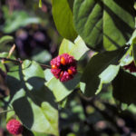 Strawberry Bush, Heart's-a-bustin, Bursting-Heart - Euonymus americanus 3