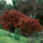Eastern Wahoo, Burningbush - Euonymus atropurpureus 4