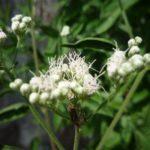 Late Boneset, Lateflowering Thoroughwort - Eupatorium serotinum