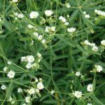 Flowering Spurge - Euphorbia corollata 2