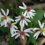 White Wood Aster - Eurybia divaricata (Aster divaricatus)