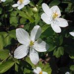 False Rue Anemone - Enemion biternatum (Isopyrum biternatum)