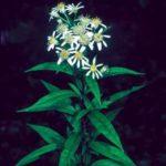 Flat-topped Aster, Cornel-leaf Whitetop - Doellingeria infirma (Aster umbellatus)