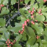 Carolina Buckthorn, Carolina False Buckthorn, Indian Cherry - Frangula caroliniana (Rhamnus caroliniana)