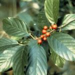 Carolina Buckthorn, Carolina False Buckthorn, Indian Cherry Frangula caroliniana (Rhamnus caroliniana) 2