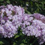 Garden Phlox, Summer Phlox - Phlox paniculata