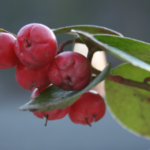 Wintergreen, Teaberry, Checkerberry - Gaultheria procumbens