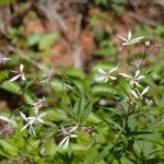 Bowman's Root, Indian Physic - Gillenia trifoliata (Porteranthus trifoliatus)
