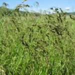 Reed Manna Grass, American Manna Grass - Glyceria grandis