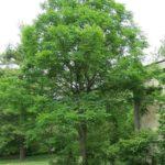 Kentucky Coffeetree - Gymnocladus dioicus 4