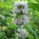 Hairy Wood Mint, Hairy Pagoda-plant - Blephilia hirsuta