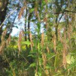 Hairy Woodland Brome - Bromus pubescens (Bromus purgans) 3