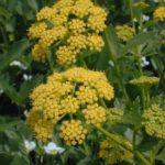 Heart-leaf Golden Alexanders, Meadow Zizia - Zizia aptera 1