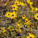 Narrow-leaved Sunflower, Swamp Sunflower - Helianthus angustifolius