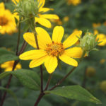 Hairy Sunflower, Rough Sunflower, Stiff-hair Sunflower, Bristly Sunflower, Whiskered Sunflower - Helianthus hirsutus