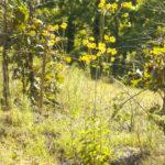 Rosinweed Sunflower, Ozark Sunflower, Silphium Sunflower - Helianthus silphioides