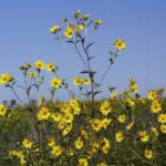 Giant Sunflower, Tall Sunflower - Helianthus giganteus 1