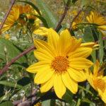 Sawtooth Sunflower - Helianthus grosseserratus 3