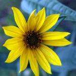 Maximilian's Sunflower - Helianthus maximiliani 3